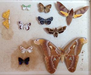 Melb-Mus-Moths